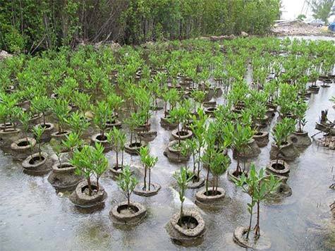 2-Reef-Ball-Mangrove-Restoration