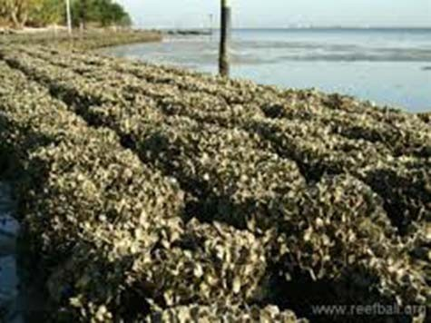 Oyster-Propagation