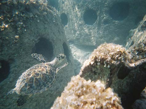 Turtle-in-Reef-Balls